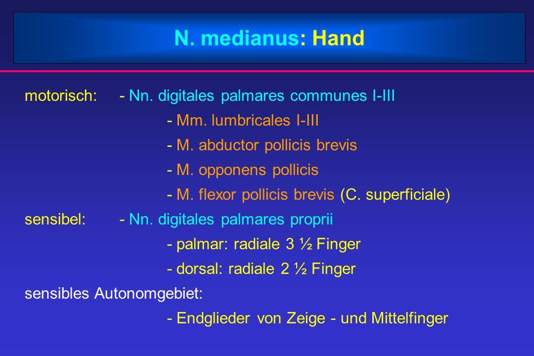 N. medianus: Hand motorisch: - Nn. digitales palmares communes I-III