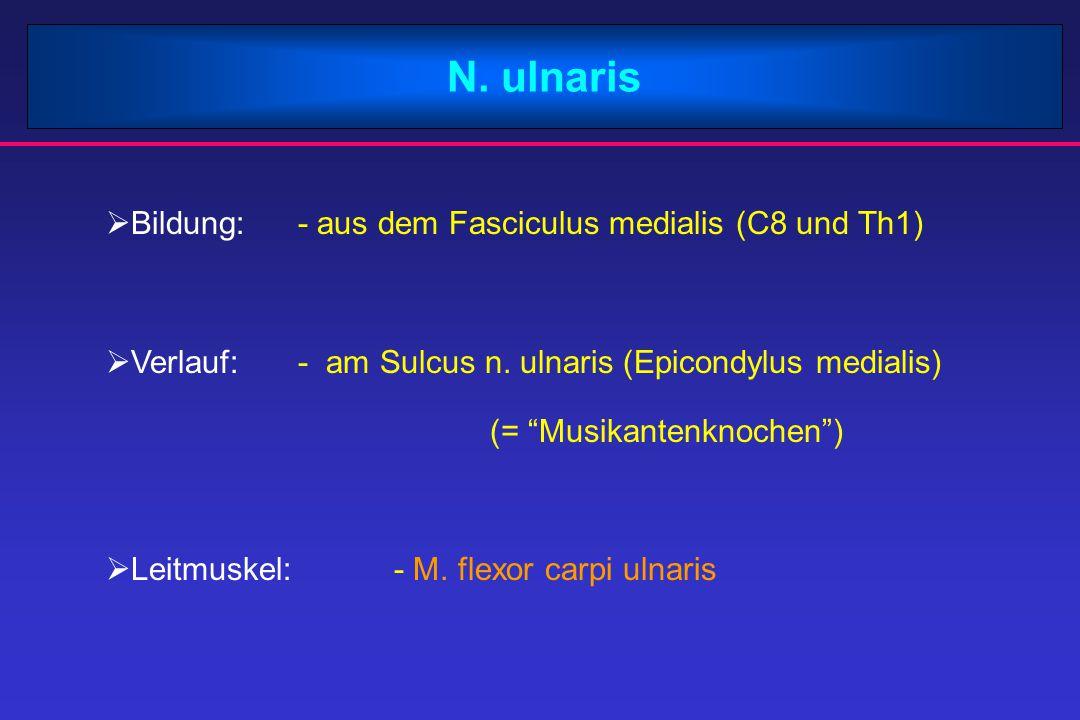 N. ulnaris Bildung: - aus dem Fasciculus medialis (C8 und Th1)