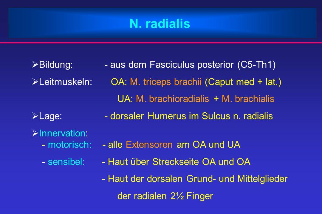 N. radialis Bildung: - aus dem Fasciculus posterior (C5-Th1)