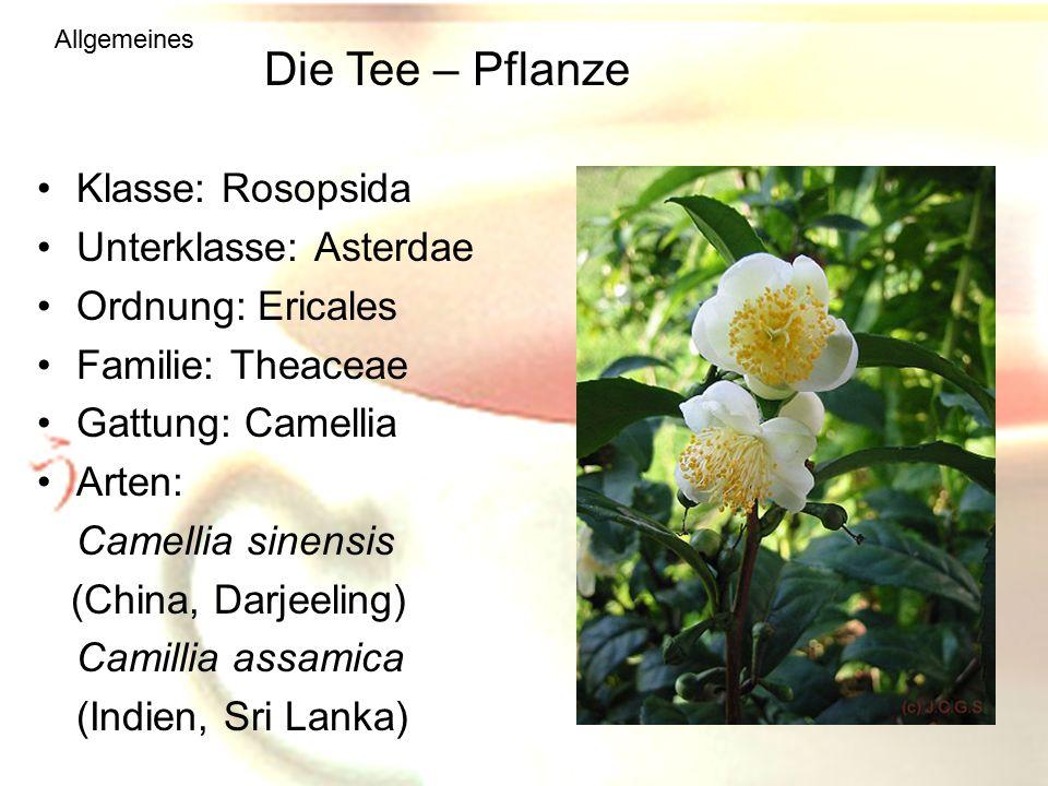 Die Tee – Pflanze Klasse: Rosopsida Unterklasse: Asterdae