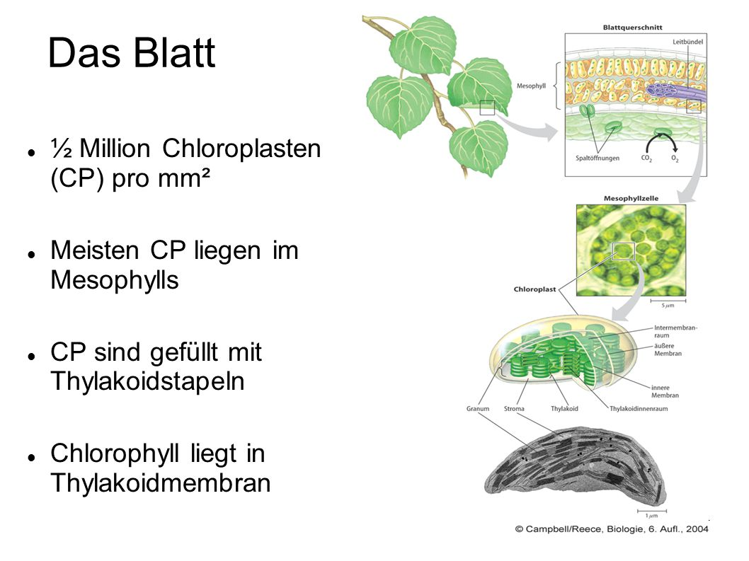 Das Blatt ½ Million Chloroplasten (CP) pro mm²