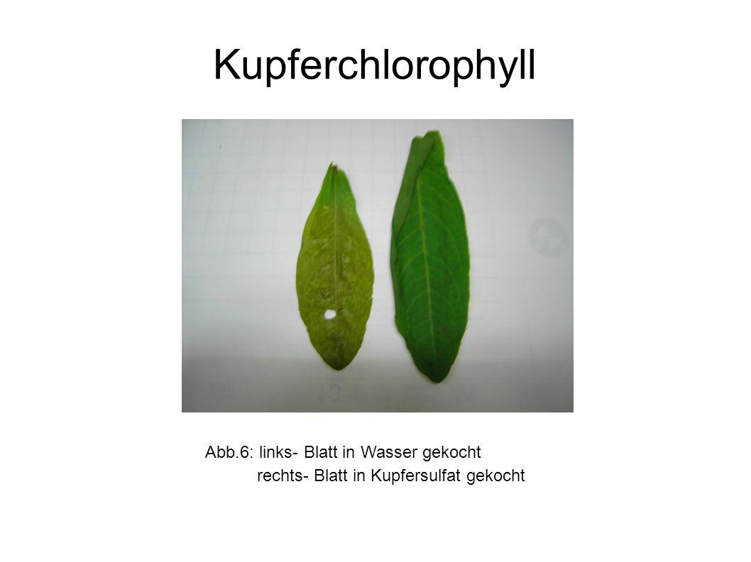 Kupferchlorophyll Abb.6: links- Blatt in Wasser gekocht