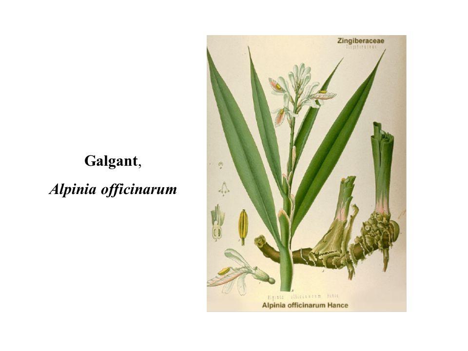 Galgant, Alpinia officinarum 10