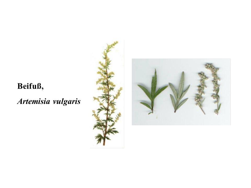 Beifuß, Artemisia vulgaris 36