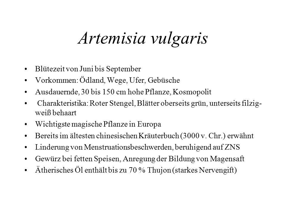 Artemisia vulgaris Blütezeit von Juni bis September