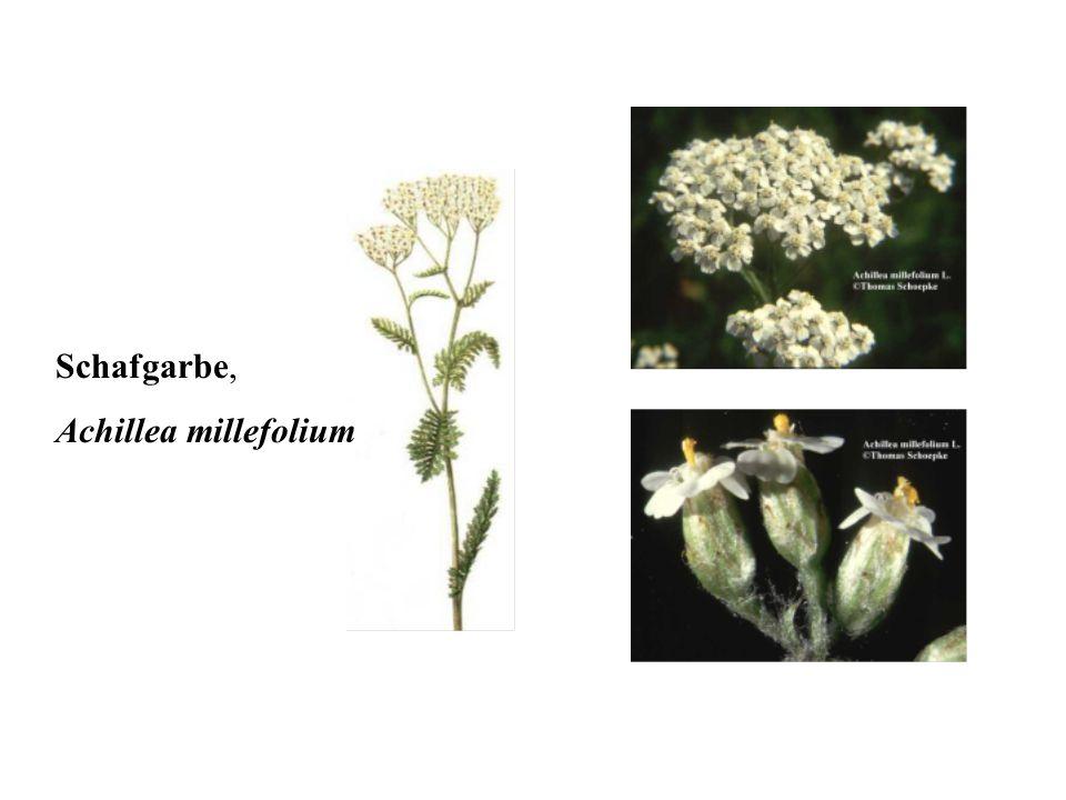 Schafgarbe, Achillea millefolium 40