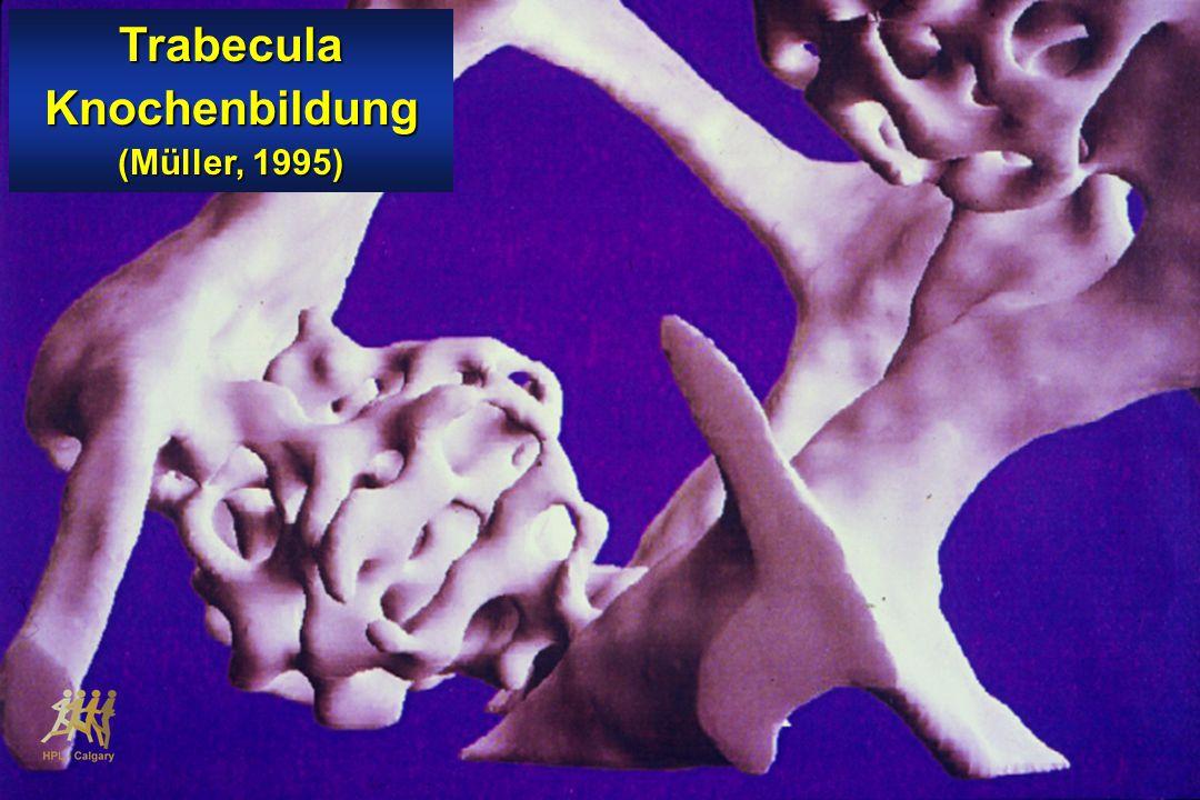 Trabecula Knochenbildung