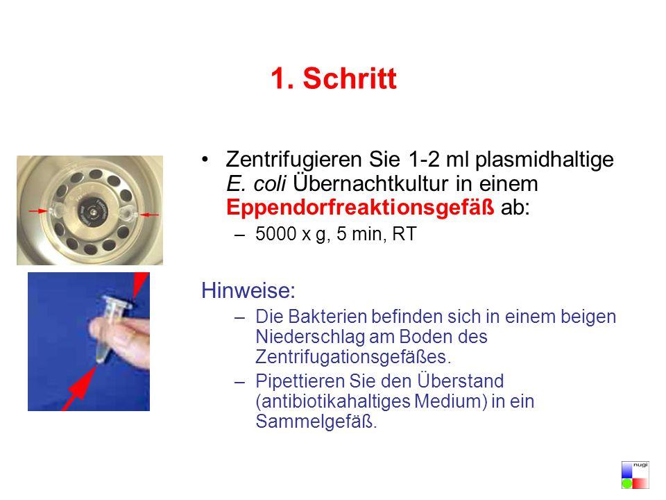 1. Schritt Zentrifugieren Sie 1-2 ml plasmidhaltige E. coli Übernachtkultur in einem Eppendorfreaktionsgefäß ab: