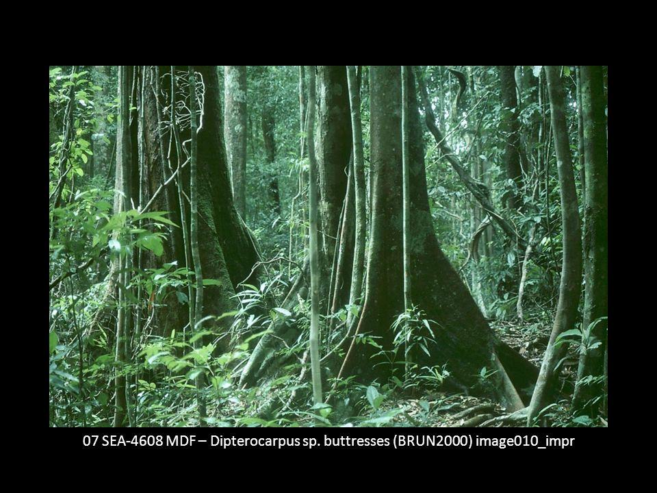 07 SEA-4608 MDF – Dipterocarpus sp. buttresses (BRUN2000) image010_impr