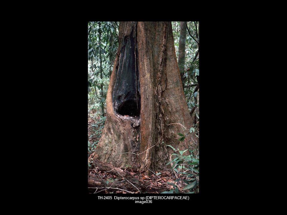 TH-2405 Dipterocarpus sp (DIPTEROCARPACEAE) image036