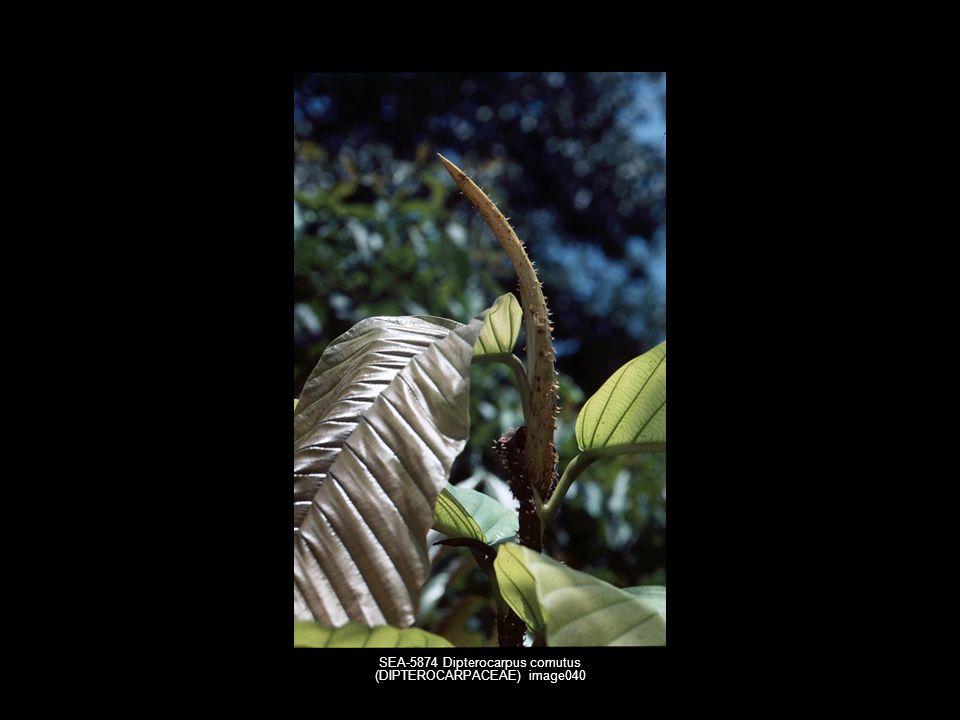 SEA-5874 Dipterocarpus comutus (DIPTEROCARPACEAE) image040