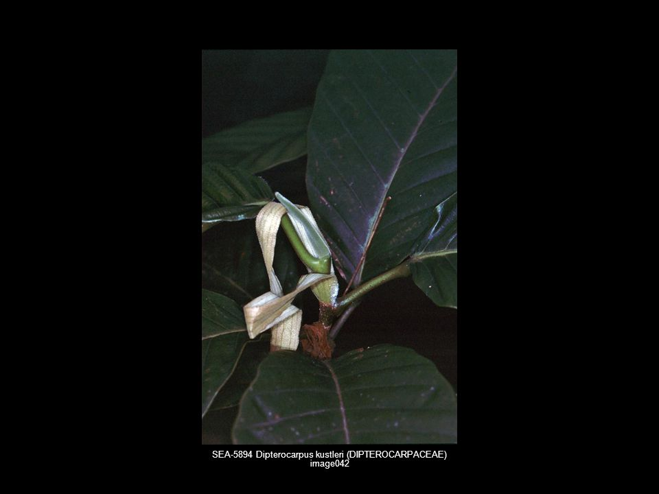 SEA-5894 Dipterocarpus kustleri (DIPTEROCARPACEAE) image042