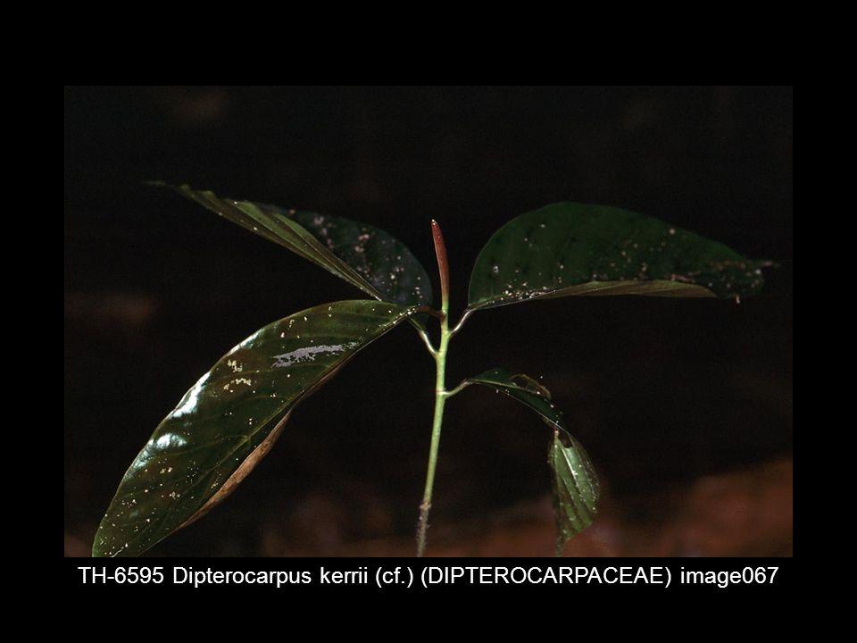 TH-6595 Dipterocarpus kerrii (cf.) (DIPTEROCARPACEAE) image067