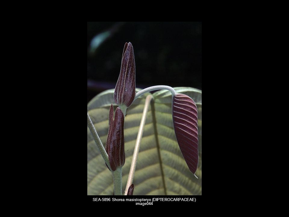 SEA-5896 Shorea masistopteryx (DIPTEROCARPACEAE) image044