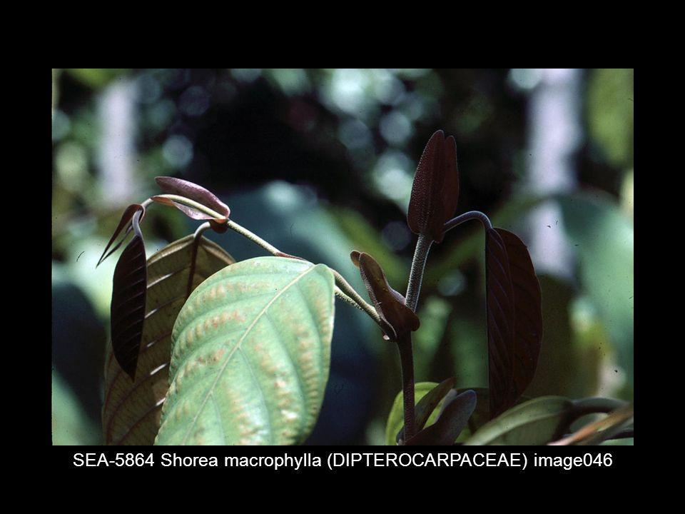 SEA-5864 Shorea macrophylla (DIPTEROCARPACEAE) image046