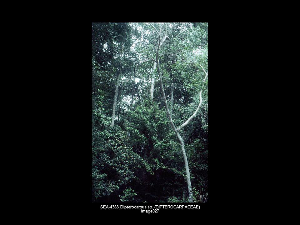 SEA-4388 Dipterocarpus sp. (DIPTEROCARPACEAE) image027