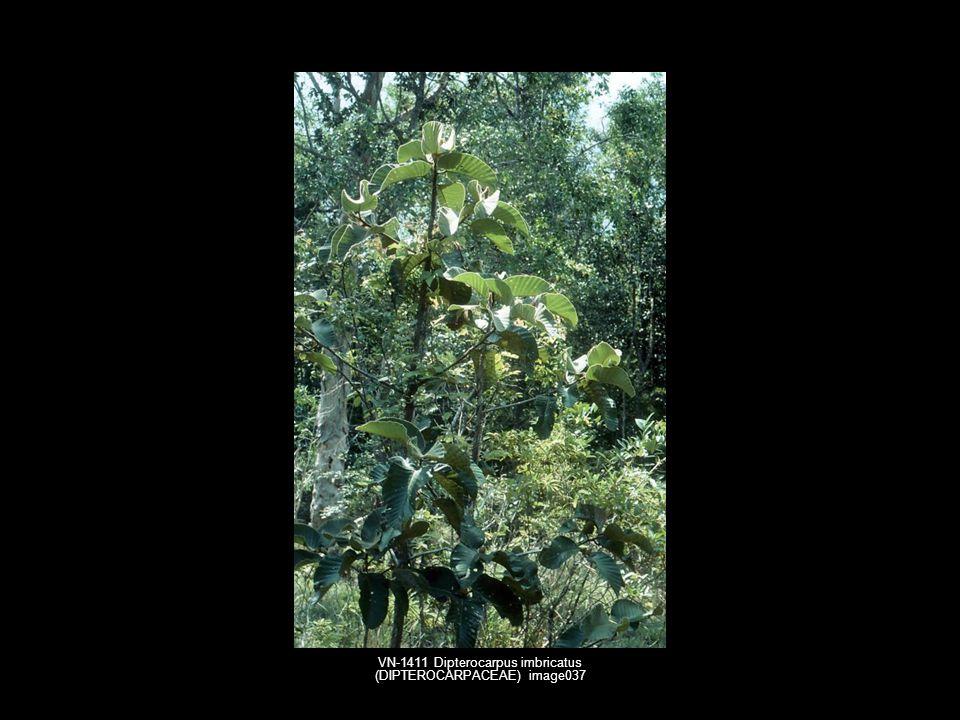 VN-1411 Dipterocarpus imbricatus (DIPTEROCARPACEAE) image037