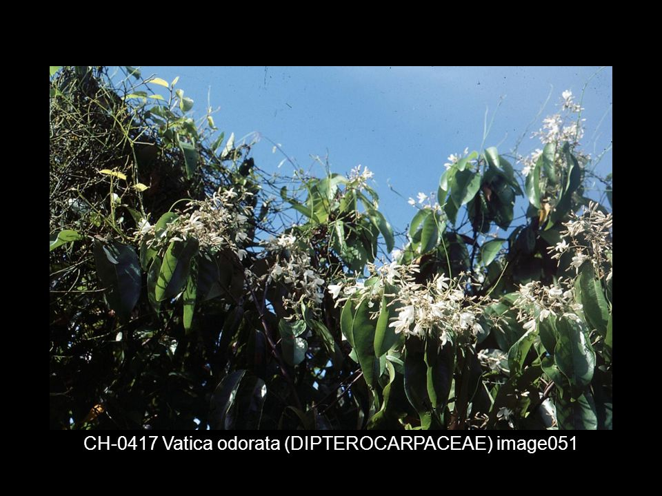 CH-0417 Vatica odorata (DIPTEROCARPACEAE) image051