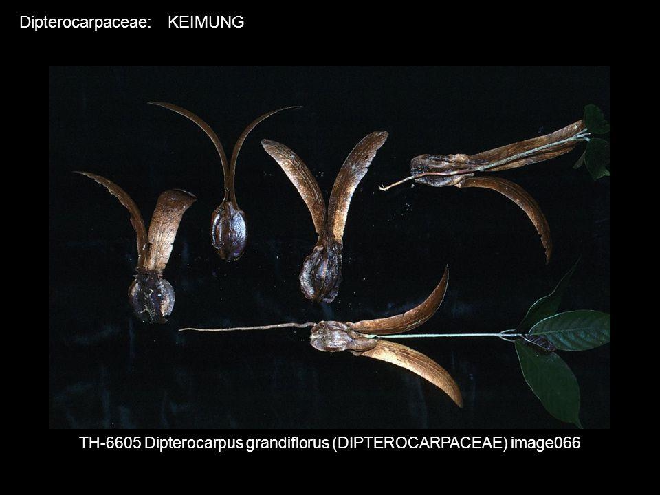 TH-6605 Dipterocarpus grandiflorus (DIPTEROCARPACEAE) image066