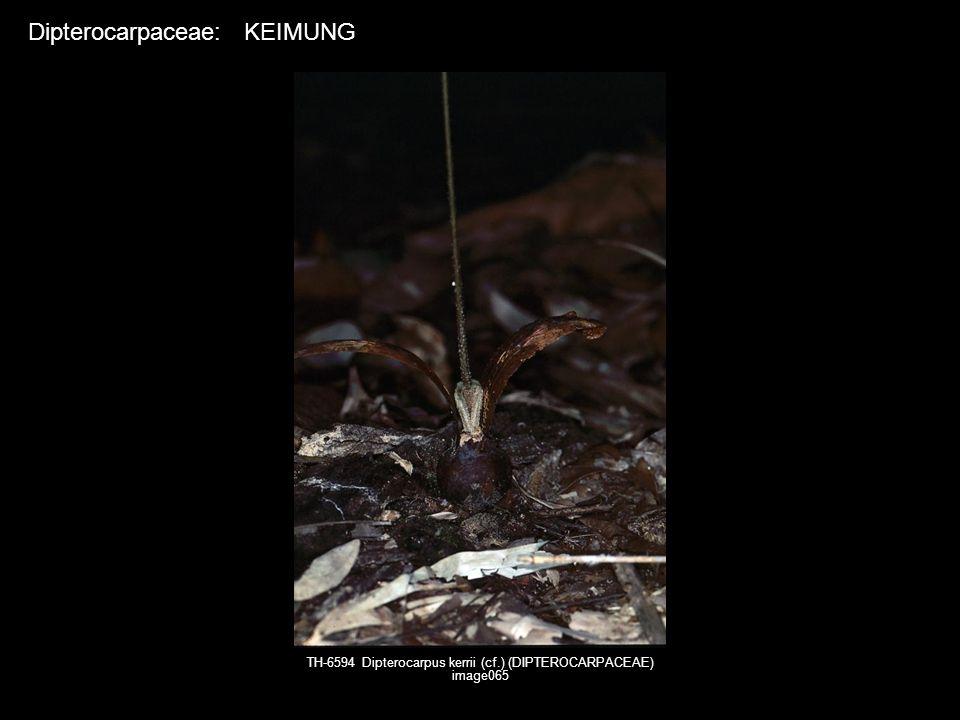 TH-6594 Dipterocarpus kerrii (cf.) (DIPTEROCARPACEAE) image065