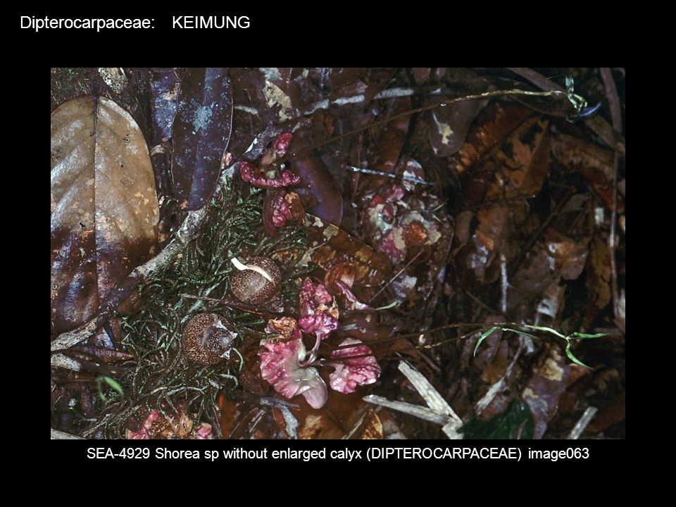 SEA-4929 Shorea sp without enlarged calyx (DIPTEROCARPACEAE) image063