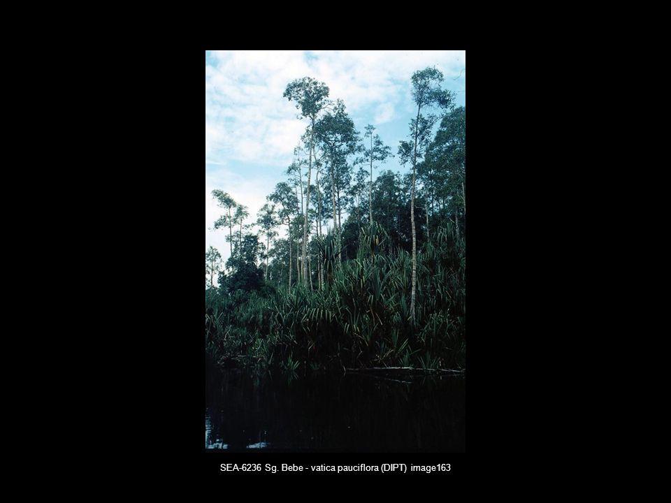 SEA-6236 Sg. Bebe - vatica pauciflora (DIPT) image163