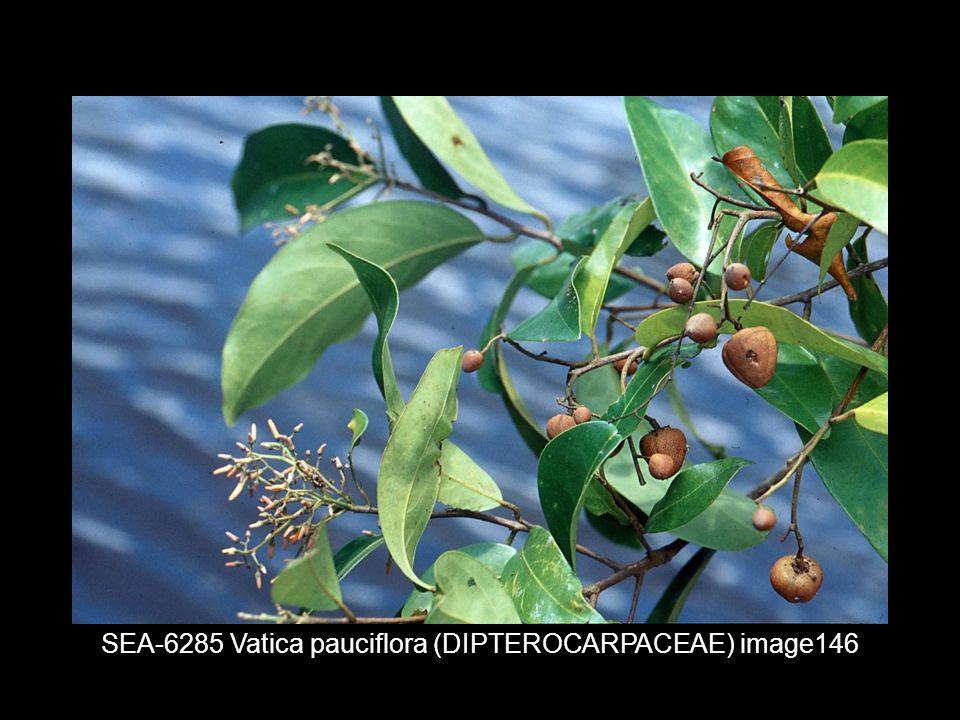 SEA-6285 Vatica pauciflora (DIPTEROCARPACEAE) image146