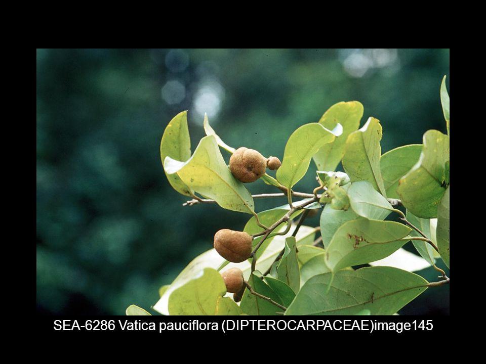 SEA-6286 Vatica pauciflora (DIPTEROCARPACEAE)image145