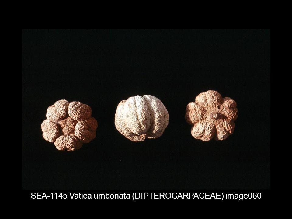SEA-1145 Vatica umbonata (DIPTEROCARPACEAE) image060