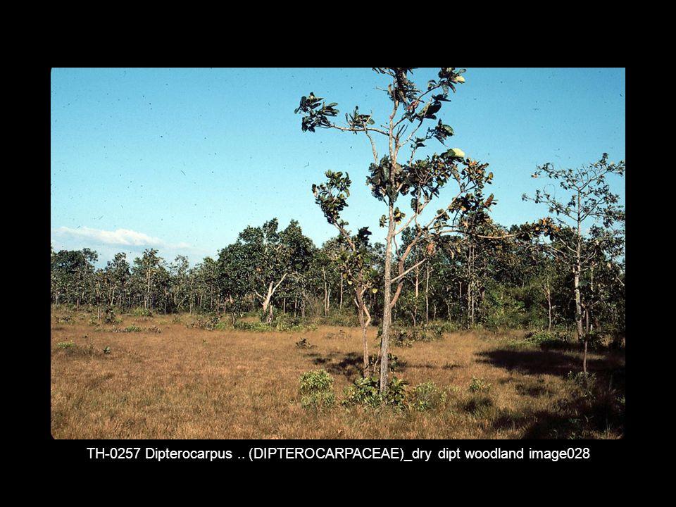 TH-0257 Dipterocarpus .. (DIPTEROCARPACEAE)_dry dipt woodland image028