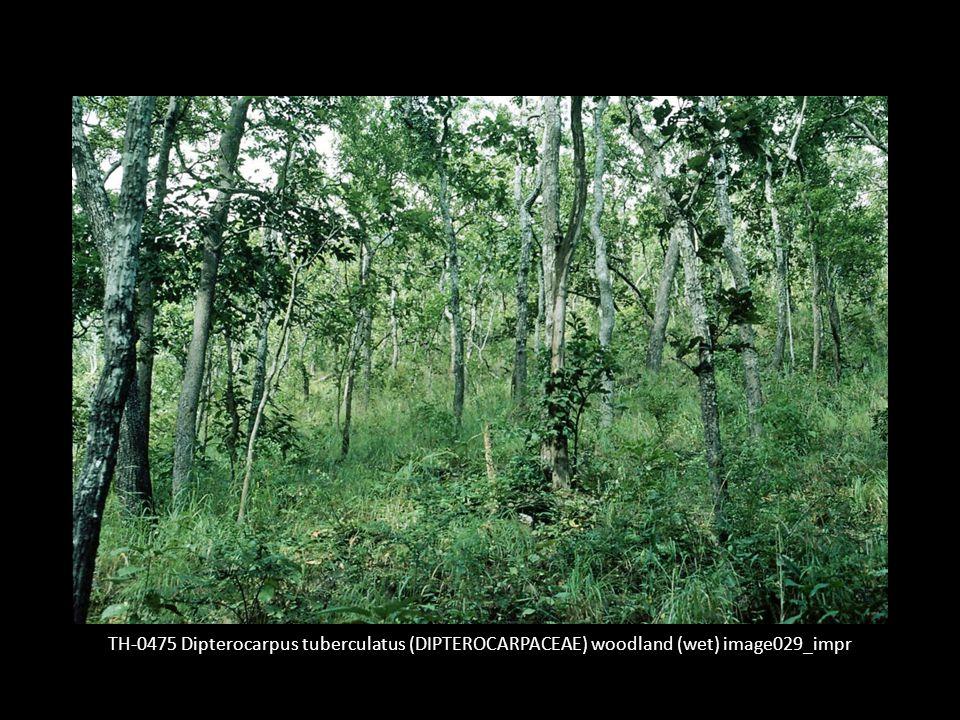 TH-0475 Dipterocarpus tuberculatus (DIPTEROCARPACEAE) woodland (wet) image029_impr
