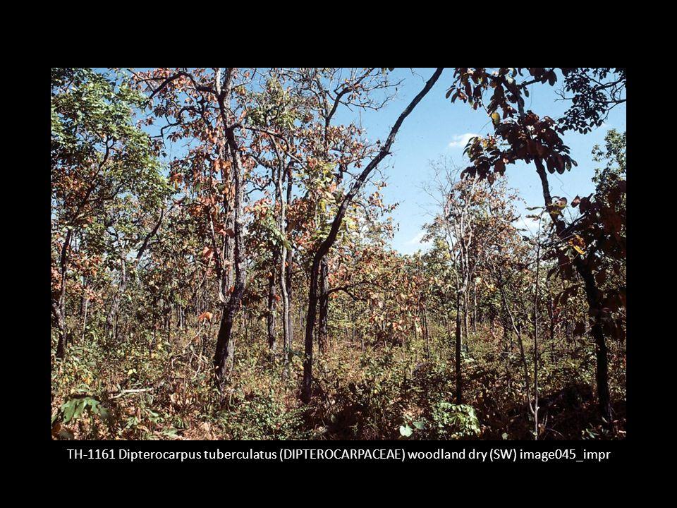 TH-1161 Dipterocarpus tuberculatus (DIPTEROCARPACEAE) woodland dry (SW) image045_impr