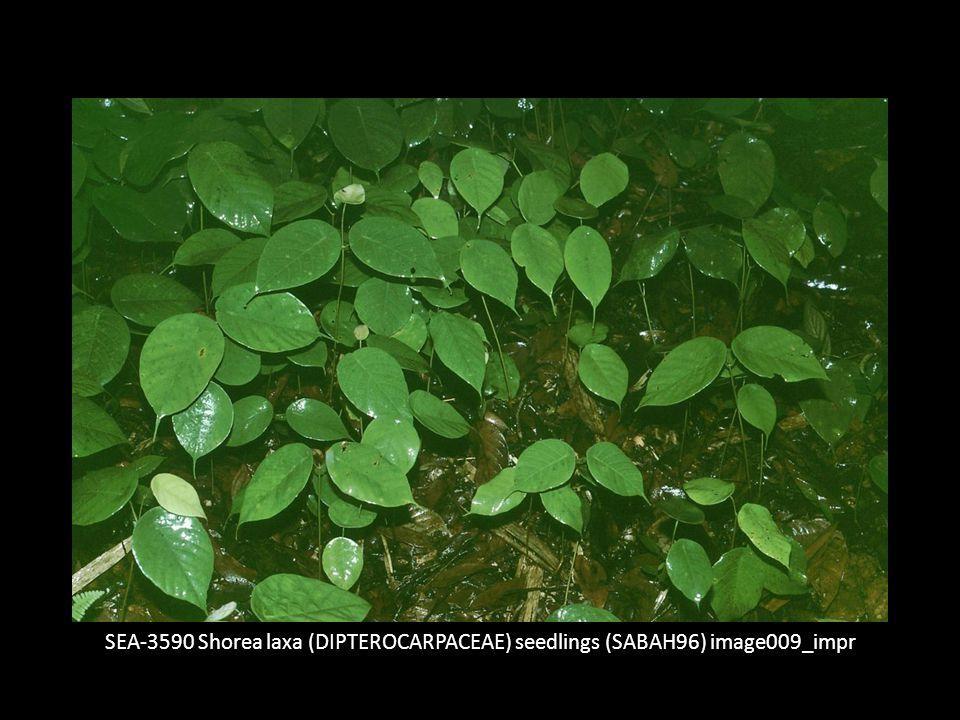 SEA-3590 Shorea laxa (DIPTEROCARPACEAE) seedlings (SABAH96) image009_impr