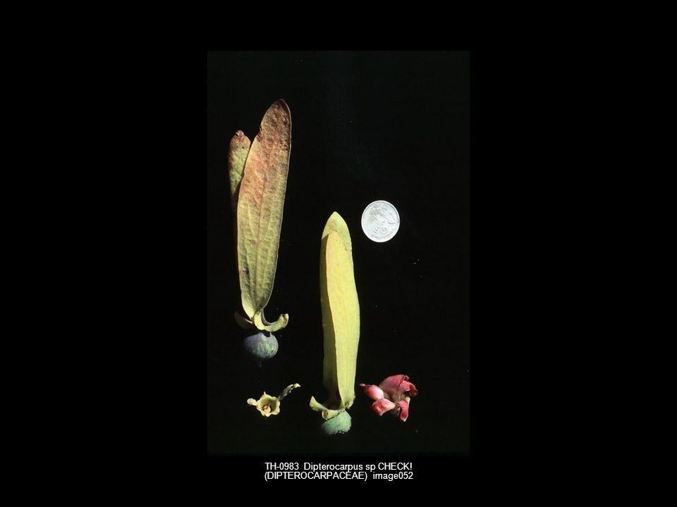 TH-0983 Dipterocarpus sp CHECK! (DIPTEROCARPACEAE) image052