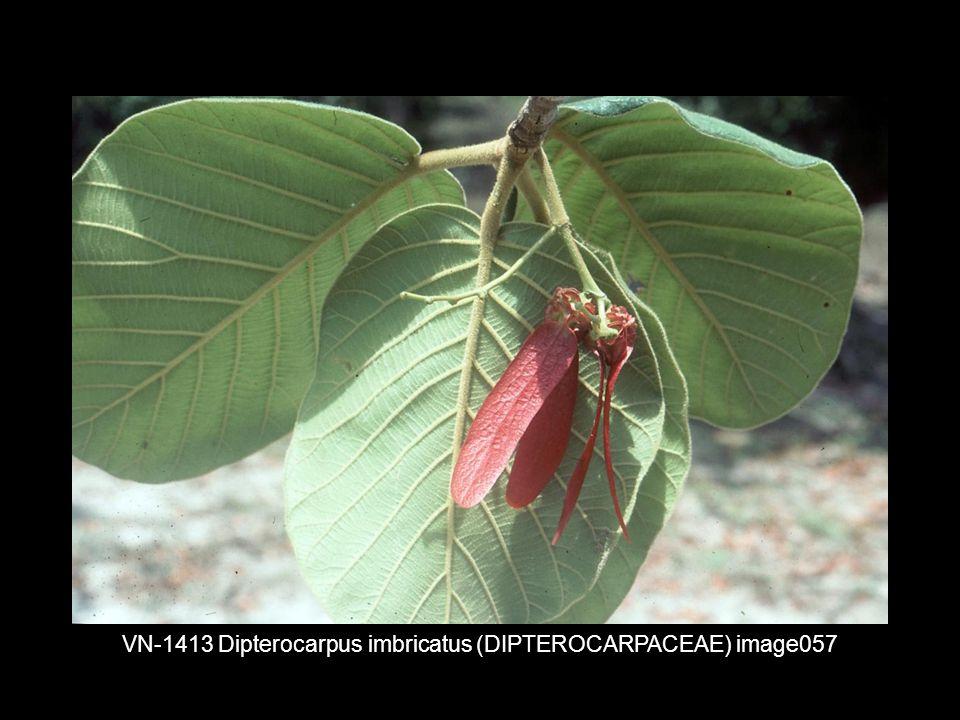 VN-1413 Dipterocarpus imbricatus (DIPTEROCARPACEAE) image057