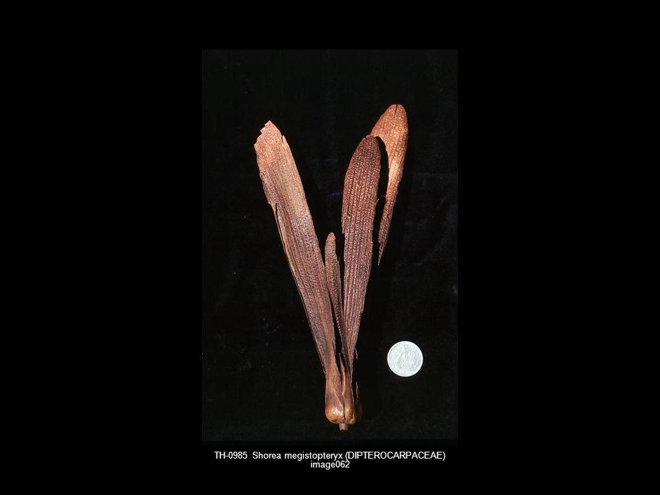 TH-0985 Shorea megistopteryx (DIPTEROCARPACEAE) image062