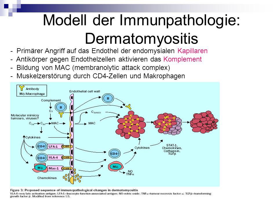 Modell der Immunpathologie: Dermatomyositis