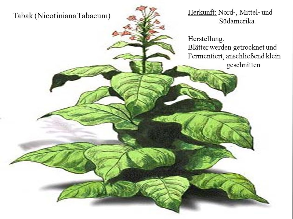 Tabak Tabak (Nicotiniana Tabacum) Herkunft: Nord-, Mittel- und