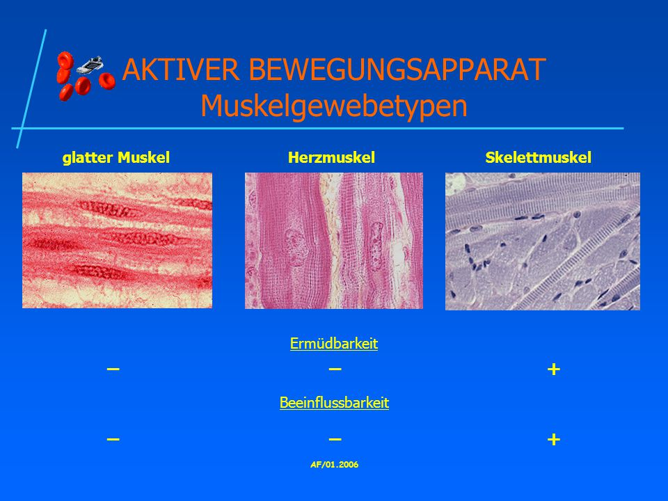 AKTIVER BEWEGUNGSAPPARAT Muskelgewebetypen
