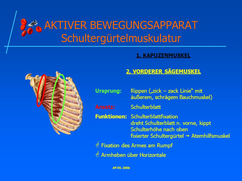 AKTIVER BEWEGUNGSAPPARAT Schultergürtelmuskulatur