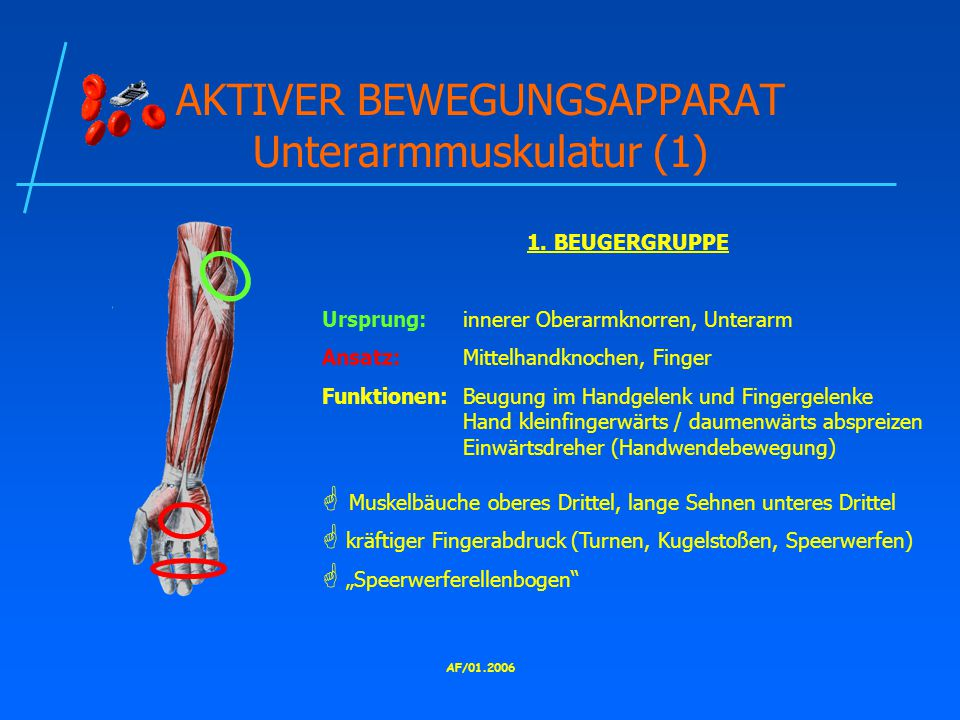 AKTIVER BEWEGUNGSAPPARAT Unterarmmuskulatur (1)