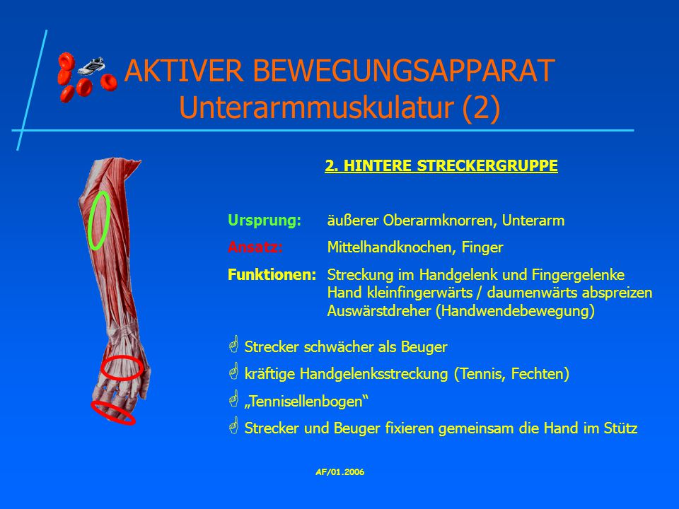 AKTIVER BEWEGUNGSAPPARAT Unterarmmuskulatur (2)