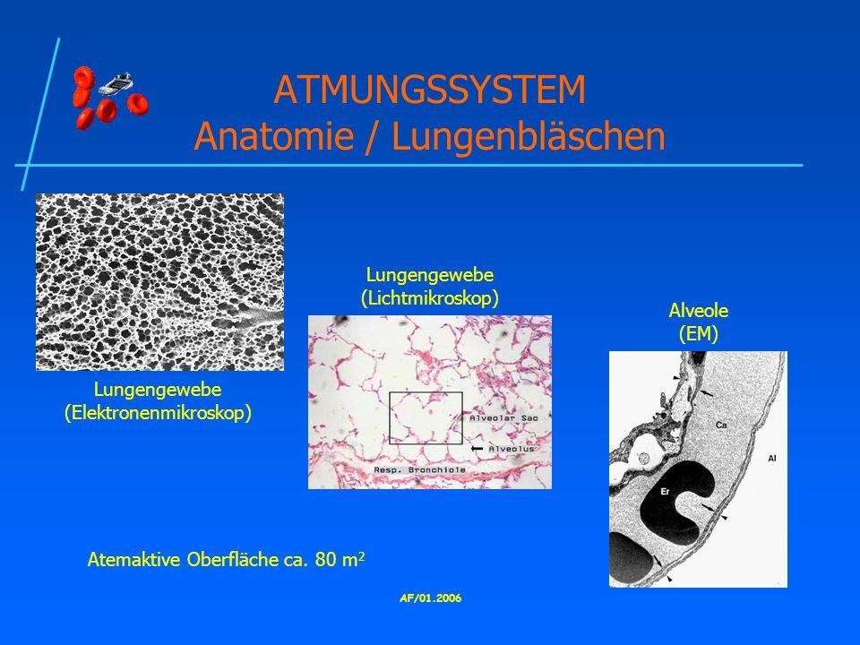 ATMUNGSSYSTEM Anatomie / Lungenbläschen