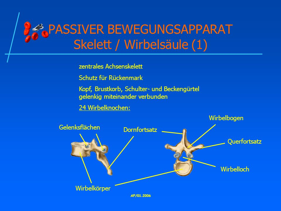 PASSIVER BEWEGUNGSAPPARAT Skelett / Wirbelsäule (1)