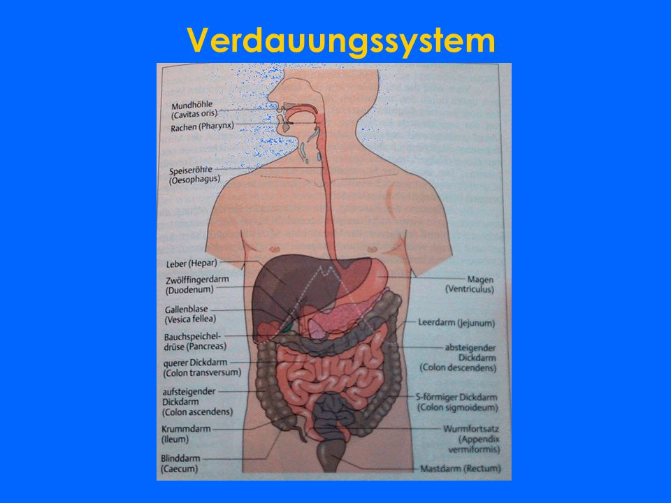 Nett Menschlichen Dickdarm Anatomie Ideen - Menschliche Anatomie ...