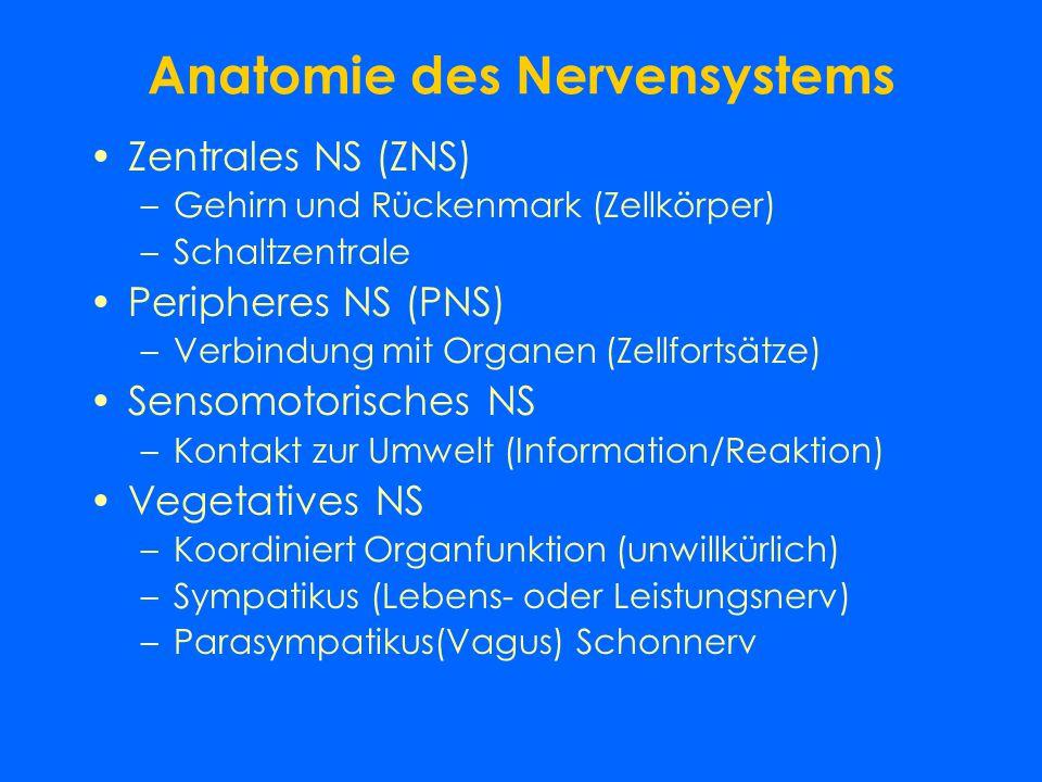 Anatomie des Nervensystems