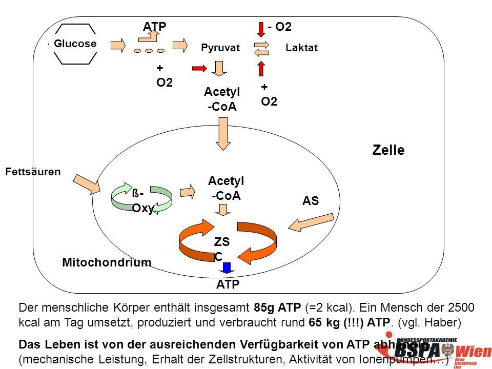 Zelle ATP - O2 + O2 + O2 Acetyl -CoA Acetyl -CoA ß-Oxy. AS ZSC