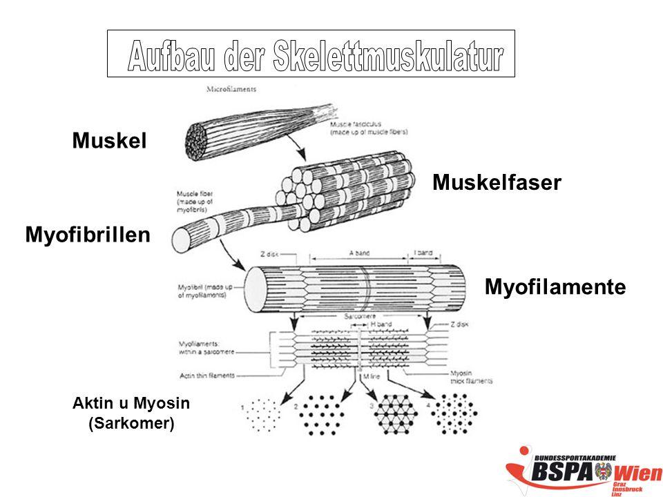 Aufbau der Skelettmuskulatur Aktin u Myosin (Sarkomer)