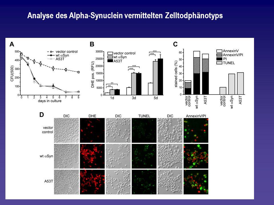 Analyse des Alpha-Synuclein vermittelten Zelltodphänotyps