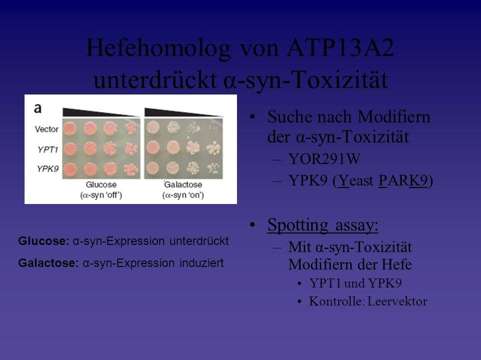 Hefehomolog von ATP13A2 unterdrückt α-syn-Toxizität